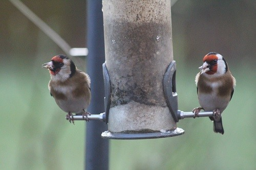 Goldfinch, synchronised eating, looking left...