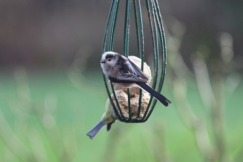Long Tailed Tit, just the one.