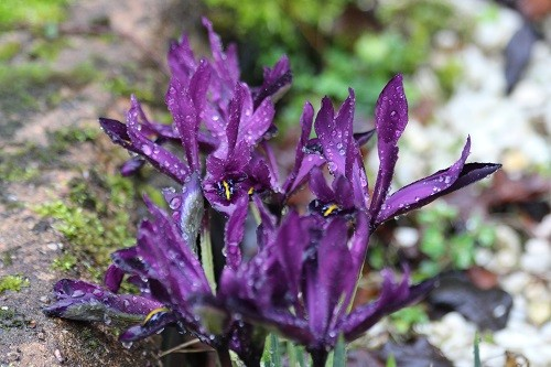 I seem to have planted rather a lot of Iris reticulata, there are clumps of them coming up everywhere!