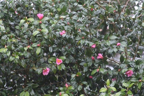At last, the Camellia is flowering, sometimes it starts in November.......
