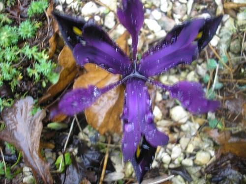 Iris reticulata Pauline.