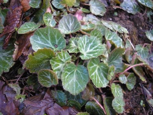 Saxifrage stoloniferous