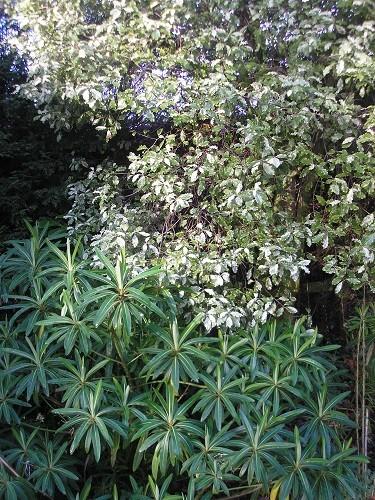 Euphorbia melliferra and Pittosporum Irene Patterson