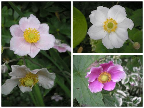 Japanese anemones.jp