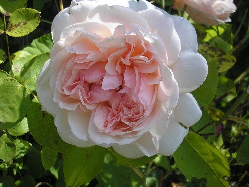 Rose Shropshire Lad or Evelyn