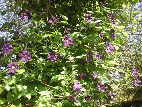 C. Etoille Violette