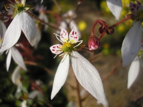 A close up of Saxifrage stolonifera