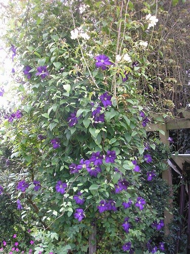 C.Etoile Violet