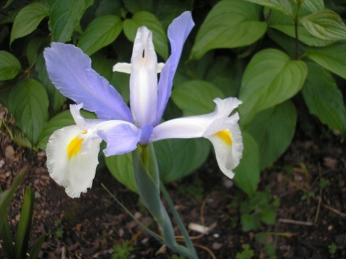 Dutch Iris Silver Beauty