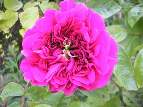 Rosa The Dark Lady