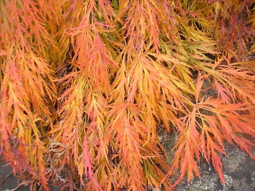 Colourful Acer, beautiful.