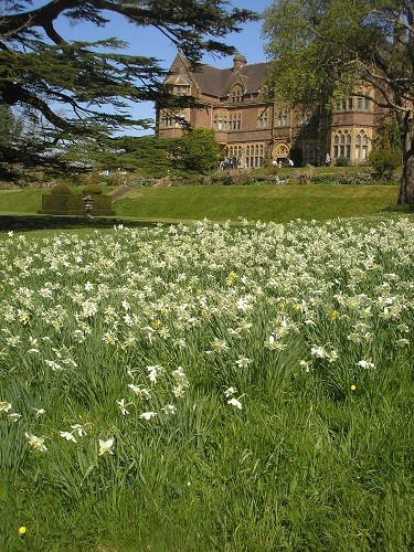 Narcissus on the front lawn