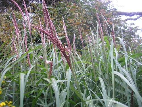 Miscanthus showing flower heads
