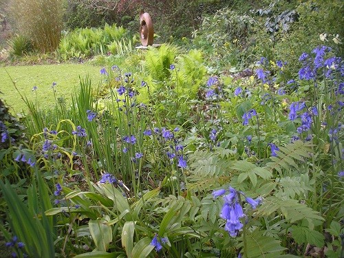 Looking through the bluebells to the bog garden. My bluebells are increasing each year, beginning to be a drift!