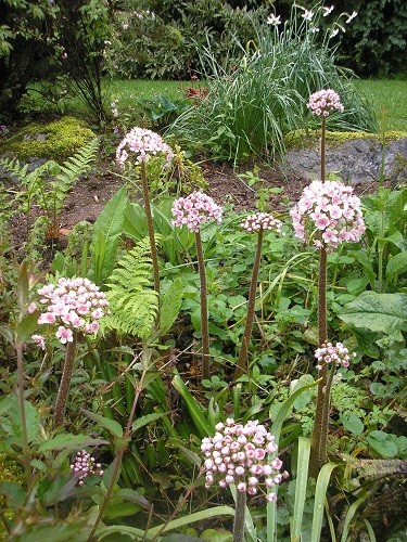 Darmera peltata on the rockery behind the scree.