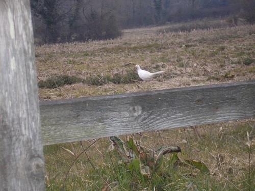 White pheasant.