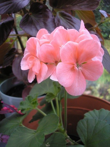My favourite Pelargonium, I must try to get some cuttings from this one, to make more of it.