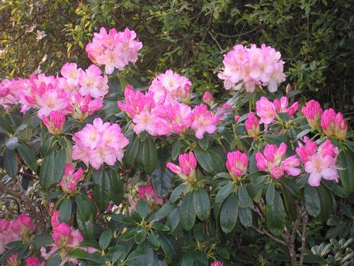 The first rhododendron to flower in the rhododendron bed.