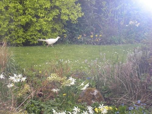 White pheasant