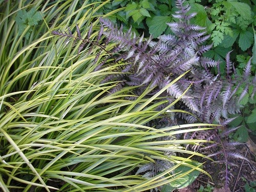 Japanese painted fern and golden grass.