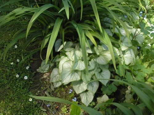 Brunnera with Heuchera foliage