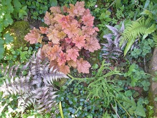 Heuchera and two different ferns