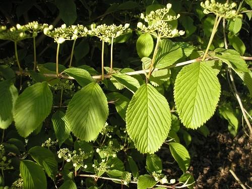 Vibernum plicatum Maresii