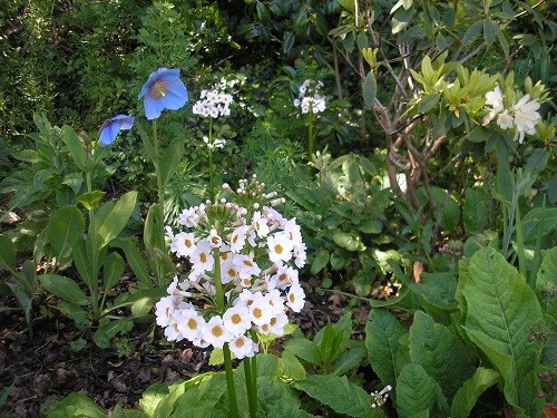 Meconopsis and primula