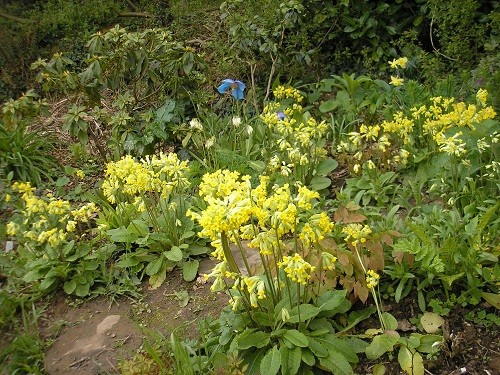 Cowslips with Meconopsis