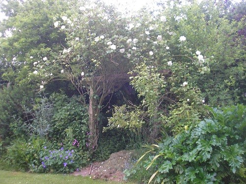 Oh dear, someone forgot to prune Mdme Gregoire Staechelin earlier in the year, I think I will have to get the hedge trimmer out!