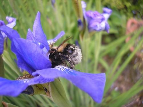 Buff tailed Bumble bee.