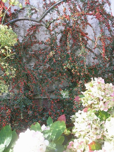 Cotoneaster.