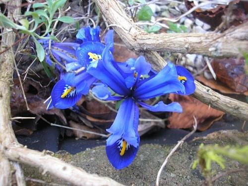 Iris reticulata.