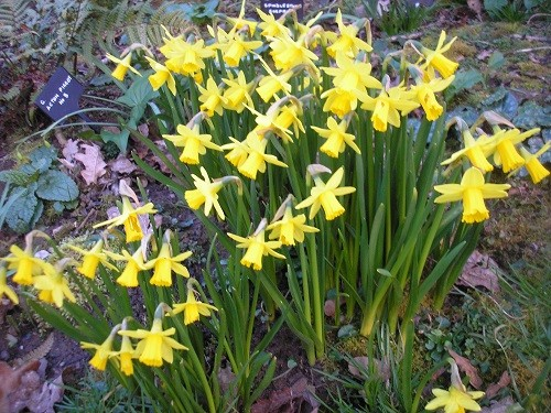 March is the month for Narcissus, these are Tete a Tete.