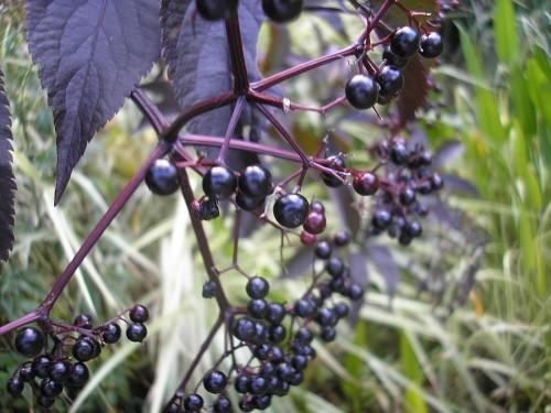 Elder berries.