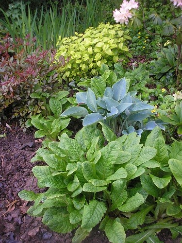 Astilbes and Hostas are growing at a fare rate of knots, here they have Lemon Balm for company, but I'll have to keep an eye on it so that it doesn't seed everywhere.