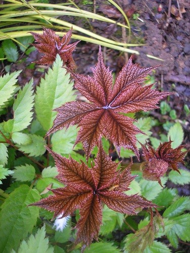 I think this Rogersia is my favourite foliage plant, it is so beautiful!