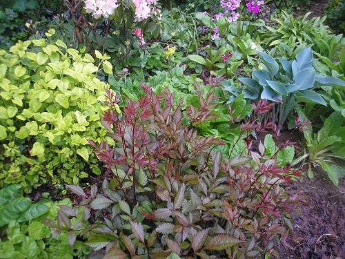The foliage of this astilbe contrasts well with the hosta and lemon balm.