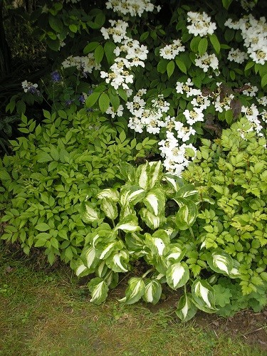 The very end of the border where the blossom on Viburnum plicatum Maresii picks up the white of the hosta.