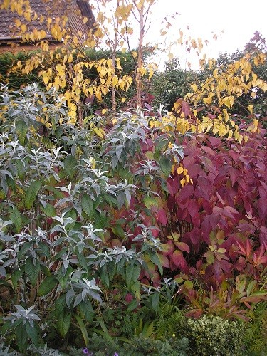 New silvery leaves on the buddleia contrasting with purple cornus and gold silver birch