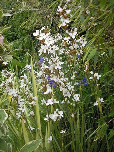 Libertia grandiflora.