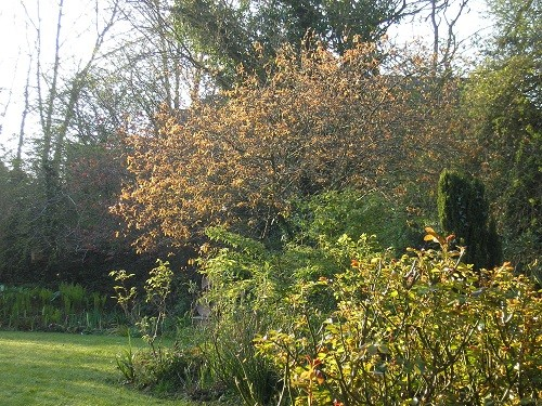 Morning sun on the Amelanchier