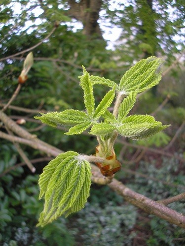 Sticky buds on one of the Horse Chestnut trees are opening now. We have to watch where we walk as we walk the sticky bits into the house!