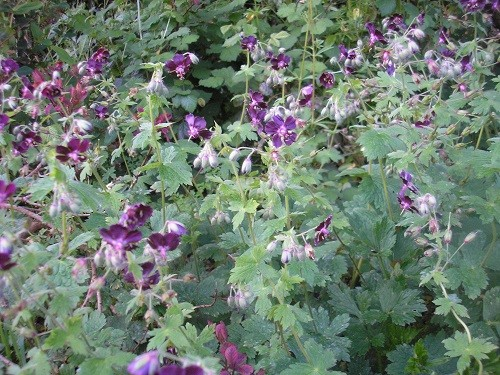 Geranium phaeum in the border round the dead oak, it is covered in flowers at the moment.