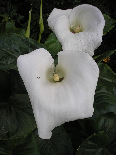 More huge flowers are opening each day on Zantedeschia eathiopica