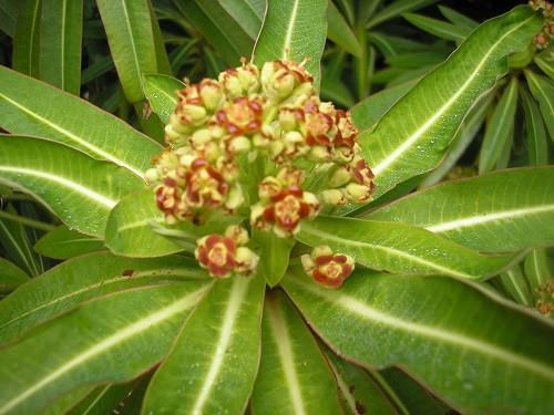 Euphorbia melliferra