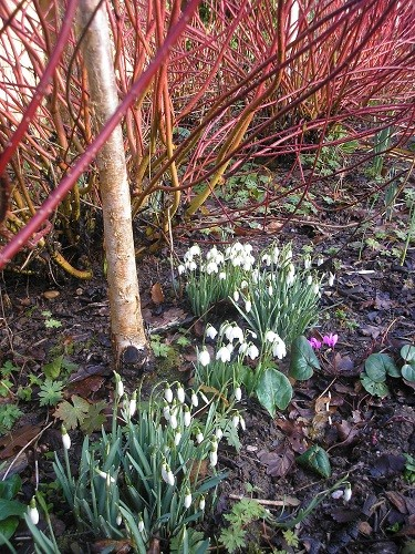 Snowdrops in the front