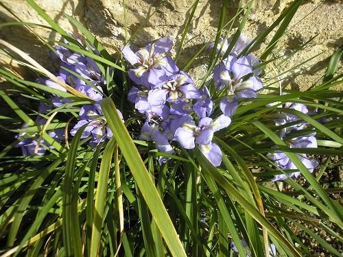 Iris unguicularis.