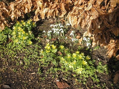 Winter aconites and snowdrops .