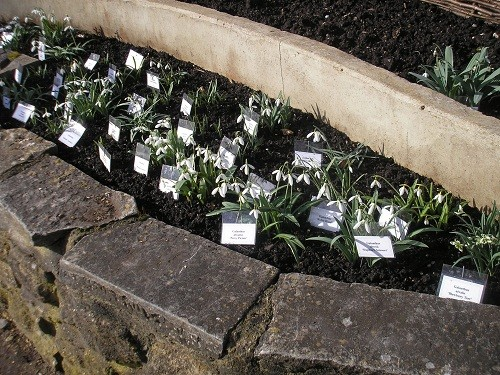Exhibition bed of snowdrops.